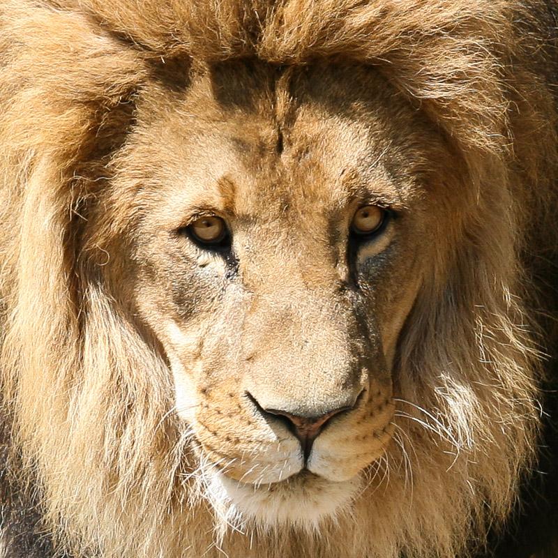 Löwe aus Hagenbecks Zoo